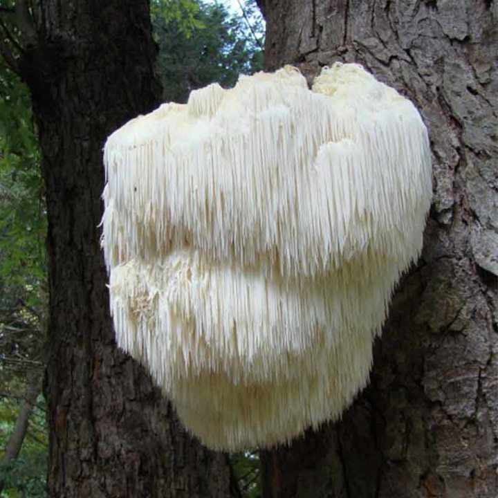 Healing Endometriosis Symptoms With Medicinal Mushrooms - Lion's mane